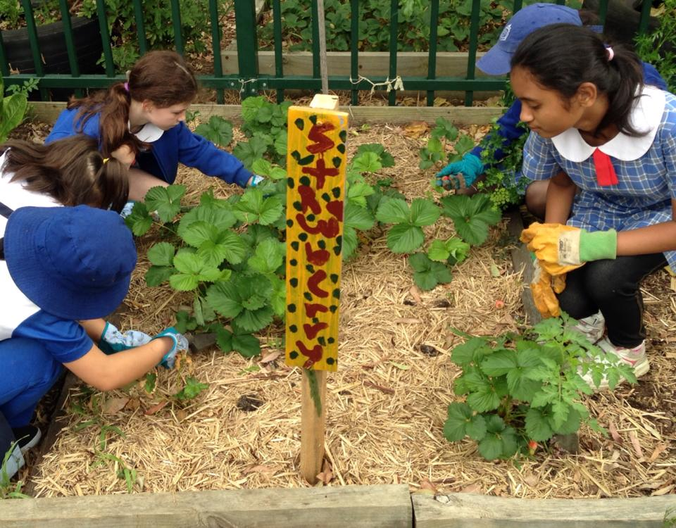 Group of primary school age children tending to a patch of strawberries